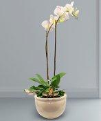 White Phalaenopsis Orchid plant in a ceramic container