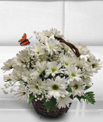 Basket of White Daisy