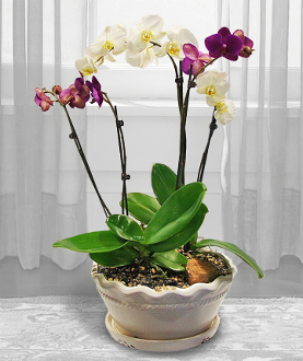 Three Phalaenopsis Plants in a decorative container
